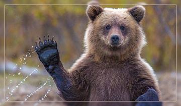 Можно ли есть медвежатину