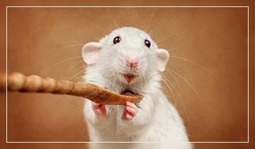 Можно ли есть крыс